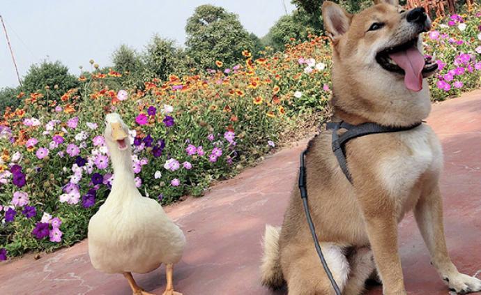 """马上评 """"拎走""""王珞丹网寻的天价鸭,怎么计算盗窃案值?"""