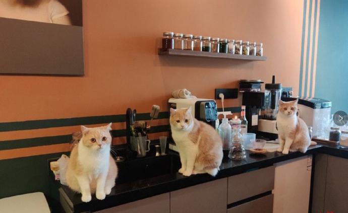 宠物咖啡馆被猫意外抓伤,律师:若顾客无错店铺应担责