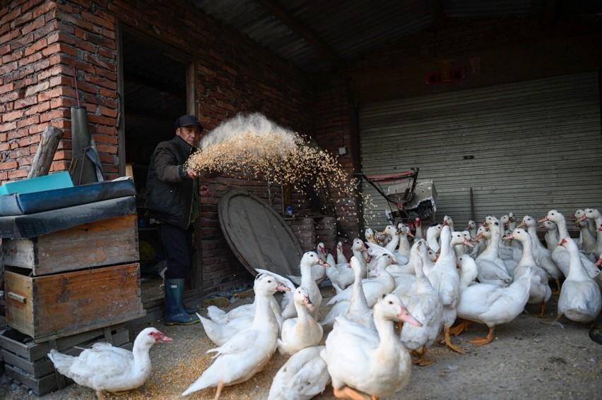 11月26日,杨美林在自家的农舍里喂养鸡鸭。