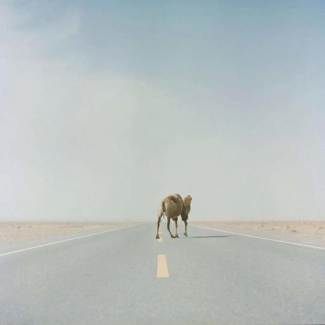 弛专本,「吾的塔里木」系列,做品《脱过塔克推玛湿的骆驼》,上台今世艺术中央