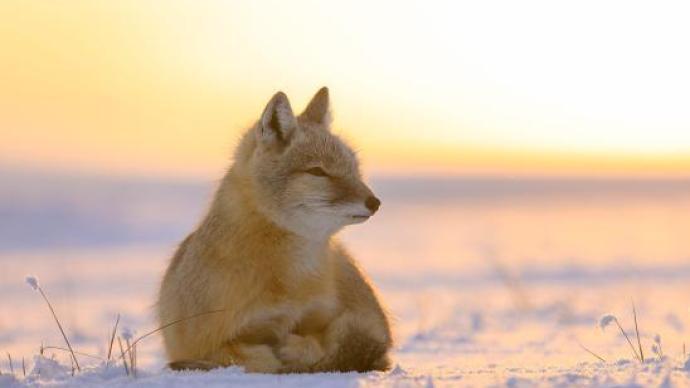 内蒙古额尔古纳发现世界自然保护联盟濒危物种沙狐