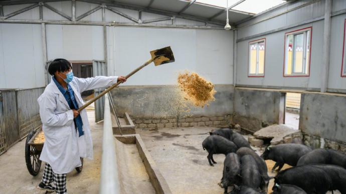 西藏首例克隆藏猪诞生:在动物克隆技术方面实现零突破