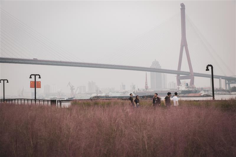 市民游客在杨浦滨江的粉红花海中畅游留影