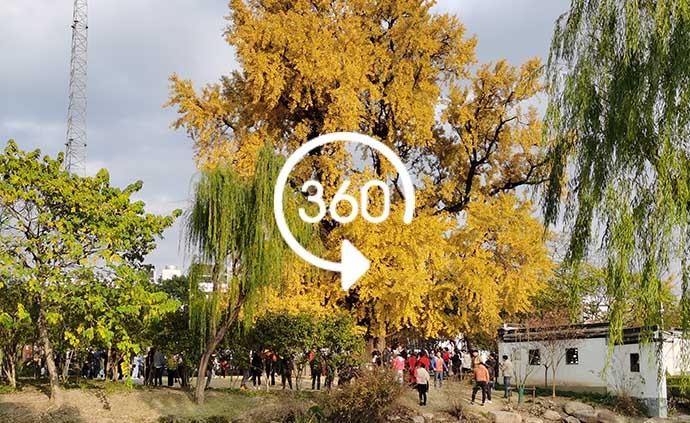"VR视频|""上海0001号""千年古银杏树迎来最佳观赏期"