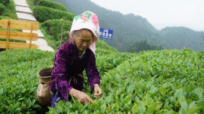 你喝杯茶,喜茶捐一元錢直到100萬,愛心助力貴州雷山茶農