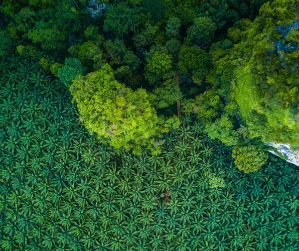 东南亚的棕榈种植园与森林的对比