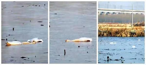 淮南大通区蔡城塘里发现的野生天鹅死体。 淮南当地爱鸟人士 陆士德 图