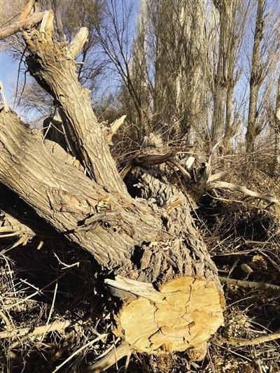 在林场内被砍伐健壮树,树干直径在30厘米以上。记者 王文志 摄