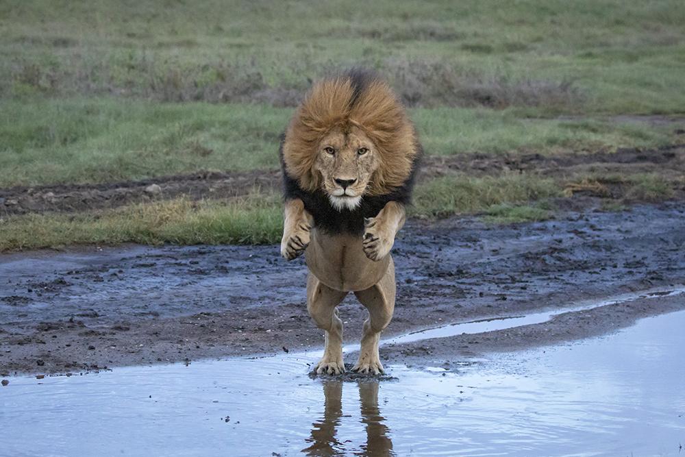 2021年1月25日报道(具体拍摄时间不详),坦桑尼亚塞伦盖蒂国家公园,一头巨型狮子为了避免将爪子弄湿,跃过一条小溪。野生动物摄影师、导游Grant Atkinson拍摄到这些画面。本文图片 新华社、人民视觉、澎湃影像