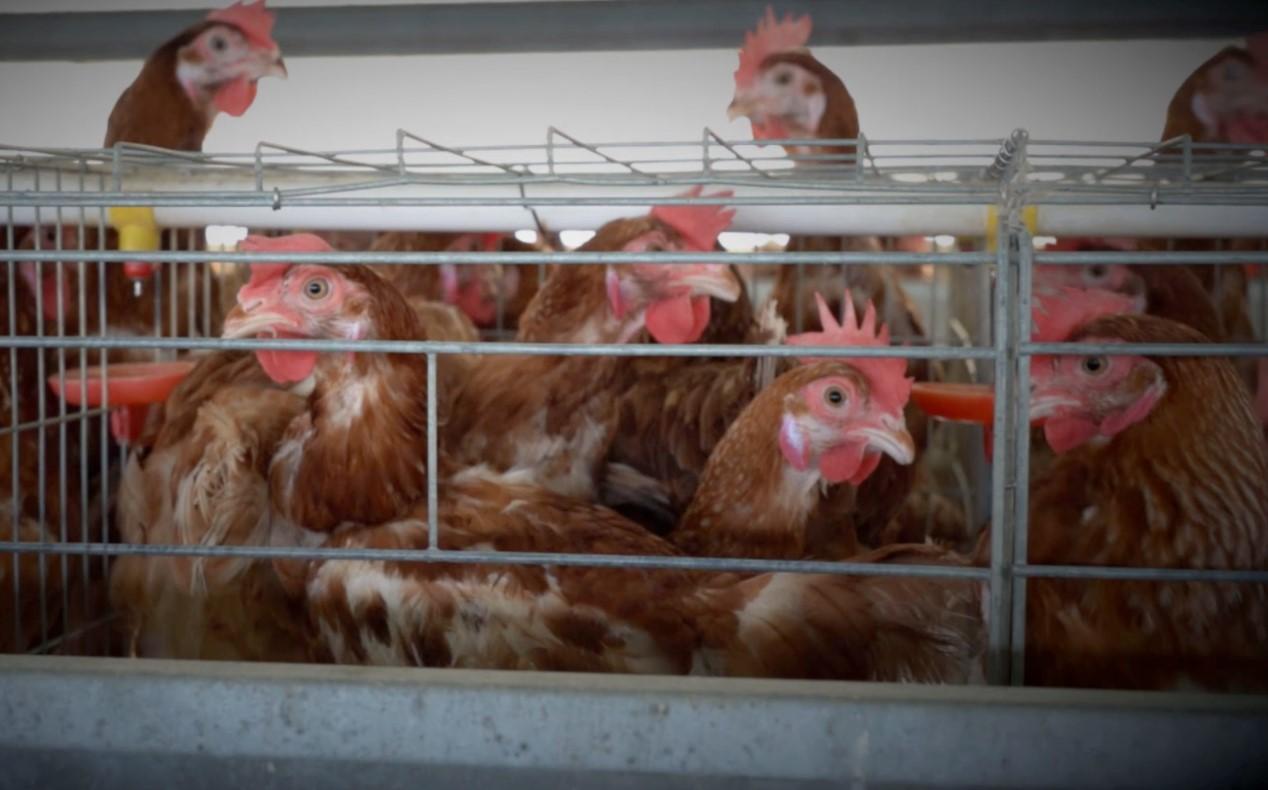 典型的工业化蛋鸡养殖将蛋鸡终生囚禁在室内狭窄的铁笼子里,蛋鸡因空间受限时常会啄伤彼此。From Wikimedia Commons