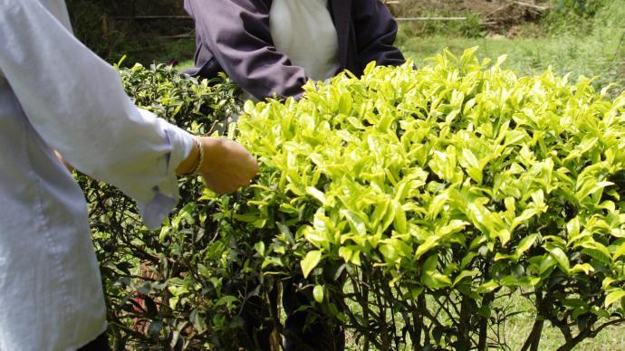 每斤數十萬元、多數茶農利益受損,誰是天價巖茶幕后推手?