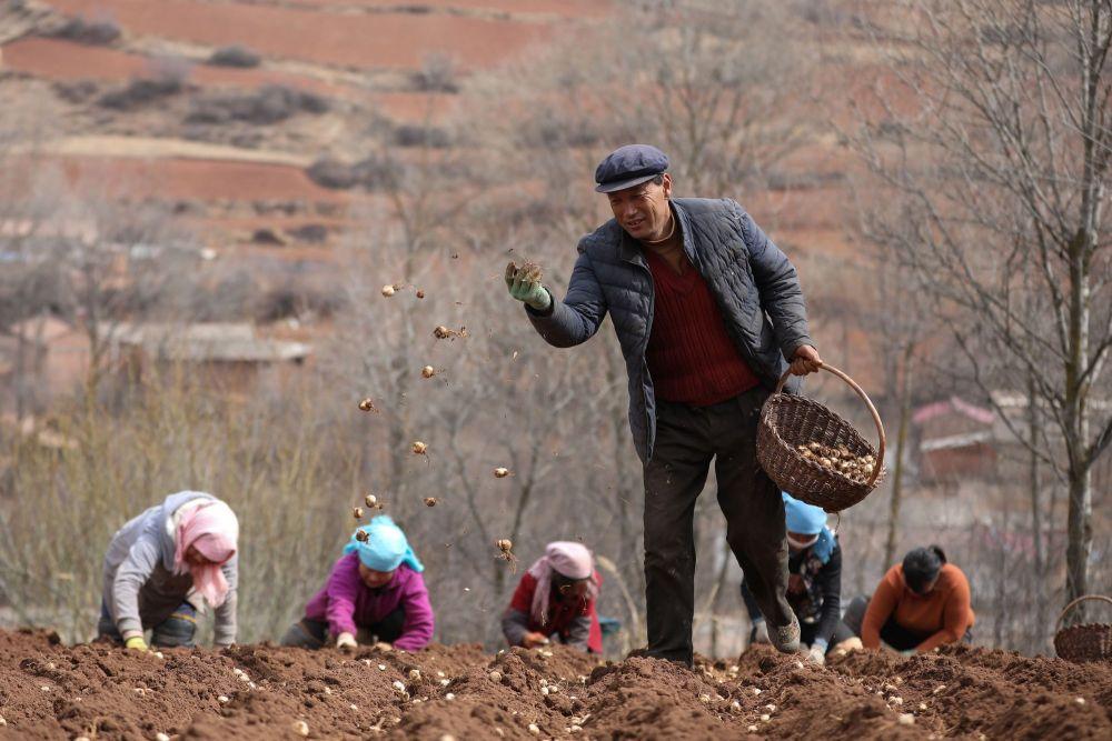 甘肃定西市渭源县元古堆村村民在播撒百合种子。2014年,元古堆村将百合、马铃薯种薯和中药材确定为扩大种植的重点品种。在小额信贷、农业保险等政策支持下,几年下来,种植面积由2012年的1000亩扩大到了4500亩。村里还组织农户成立了合作社,统一技术指导、农资供应、产销对接,提升产品附加值和产业组织化程度,助力村民增收致富(2020年3月11日摄)。