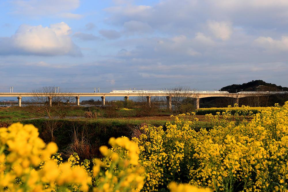 2019年3月25日,安徽黄山市境内油菜花盛开,遍地金黄,一列杭黄高铁动车穿行其间。