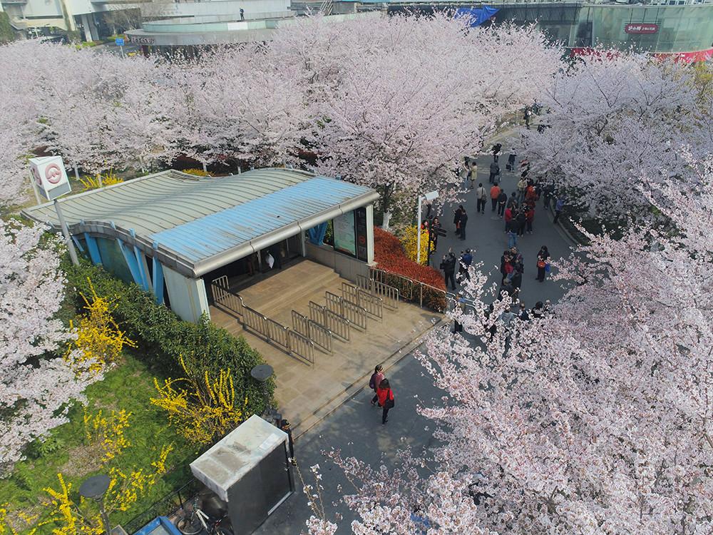 """2018年3月26日,上海,地铁8号线虹口足球场站1号出口,大片盛开的樱花,美不胜收,被网友誉为上海""""最美地铁口"""",地铁列车时不时在花海上空驶过。"""
