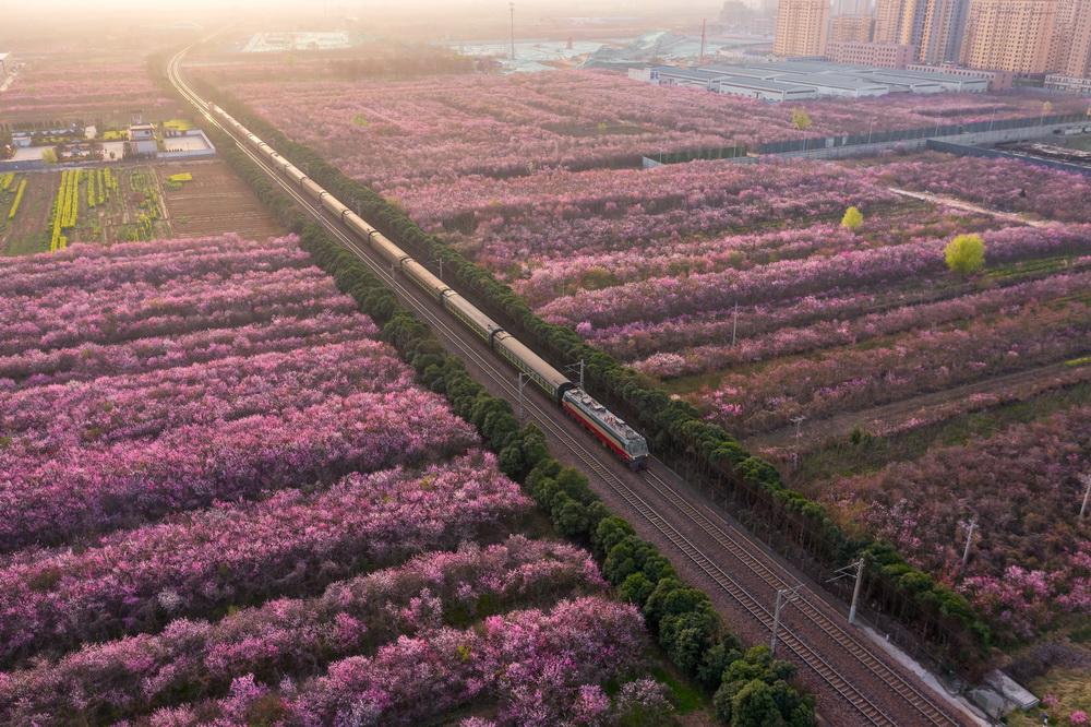 2020年3月20日,郑州郑西高铁荥阳段,春分时节,和谐号火车迎着朝阳穿过开满桃花的火车道。