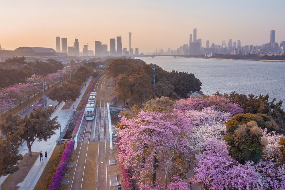 2019年12月12日,广州琶洲,有轨电车与木棉花、高耸的广州塔交相辉映,美轮美奂。