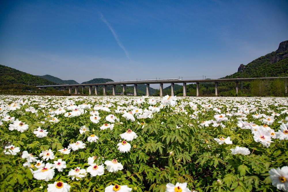 2019年4月8日,一列高铁列车从京福高铁安徽铜陵段一片盛开的凤丹花海中驶过。