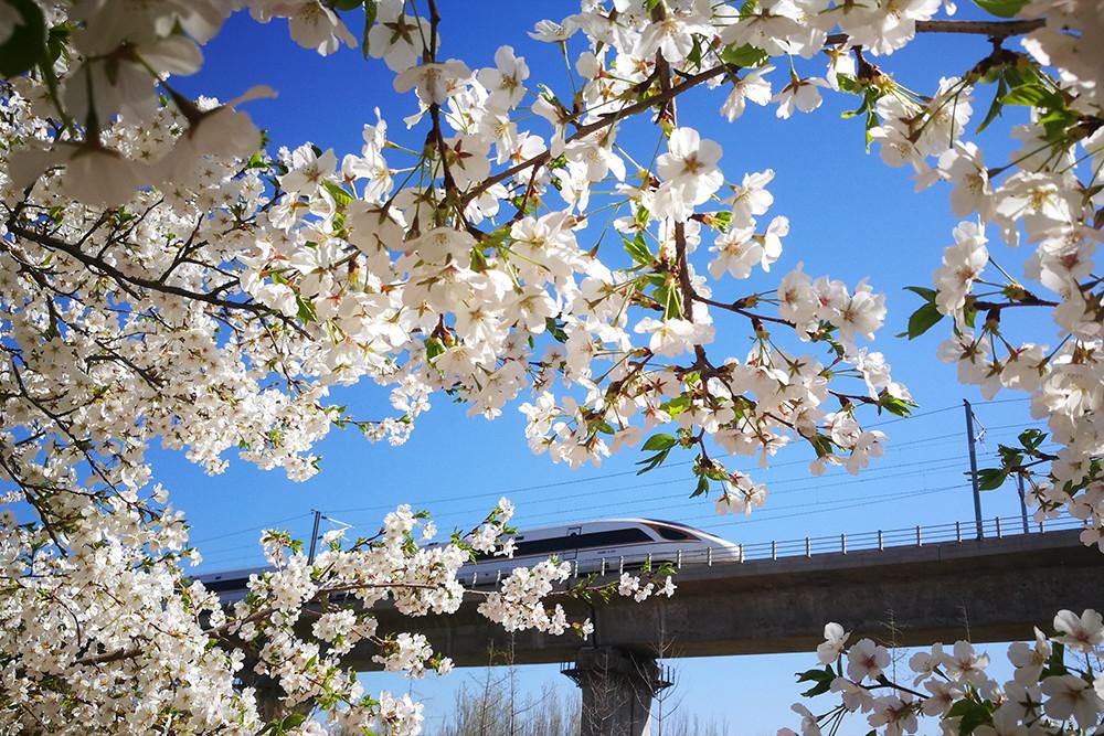 2020年4月3日上午,北京园博园,园内樱花盛开,凌空高架铁路桥穿园而过,一列复兴号动车飞速驶来。