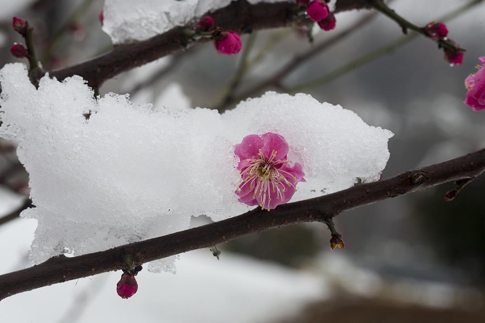 2021年2月25日,山东济南平阴县,雪中山东黄河玫瑰湖国家湿地公园内盛开的红梅。