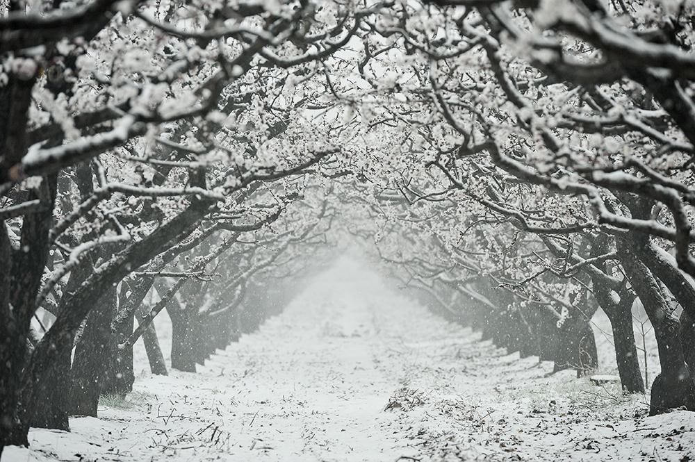 2021年2月24日,山西运城,洁白的雪花覆盖在盛开的杏花上,形成难得一见的雪景景观长廊。