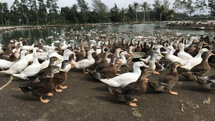 图为海南控股支持村民养的隆道鸭