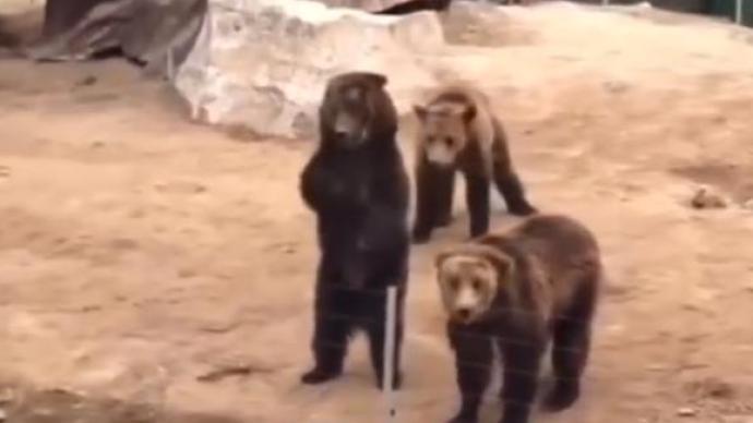 河南周口野生動物園黑熊系人扮演?園方:都是真熊,勿信炒作