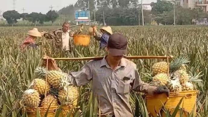"""廣東徐聞菠蘿即將上市,當地打造""""菠蘿專列""""發送出省"""