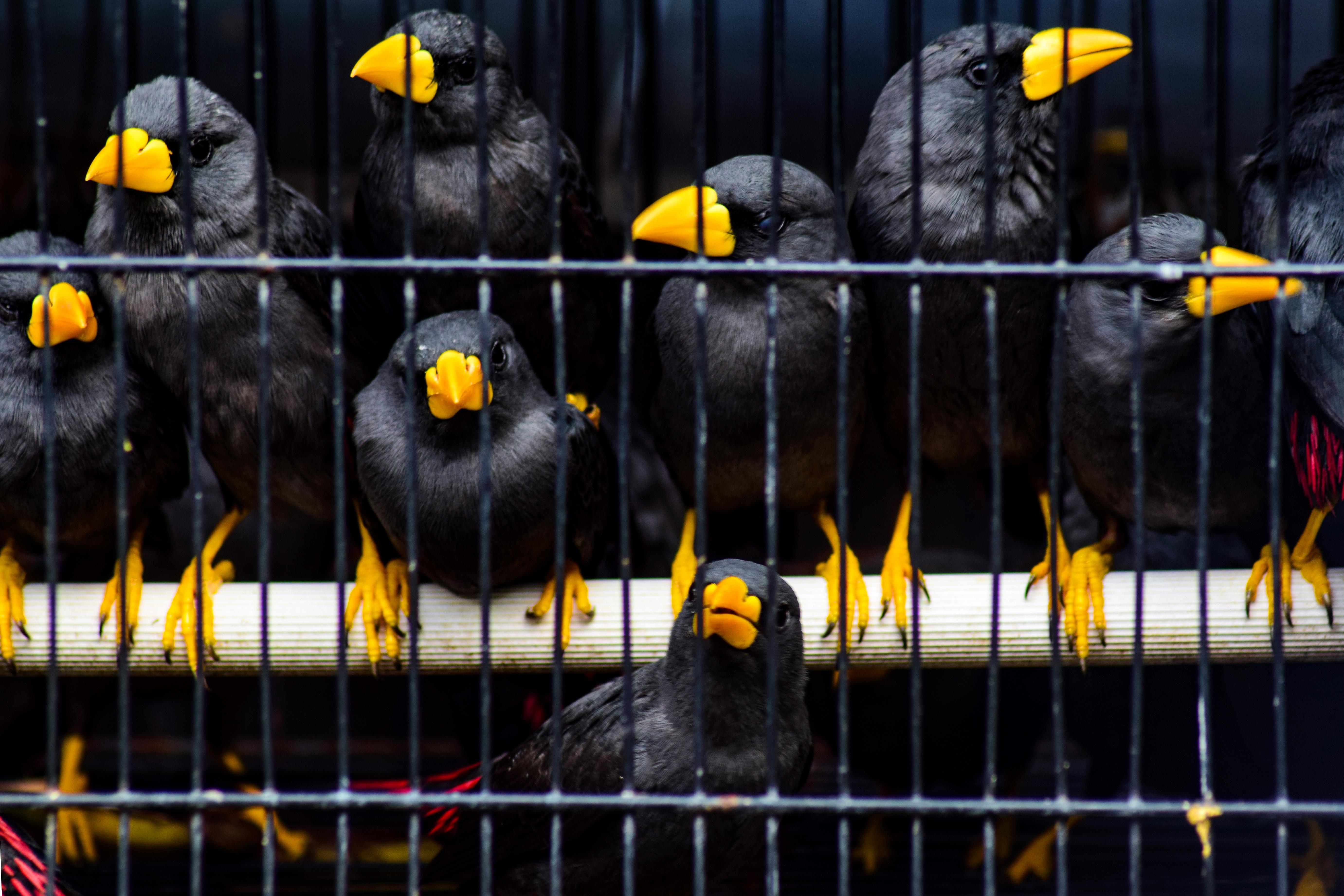 当地时间2021年3月2日,印度尼西亚诗都阿佐,当地破获一起珍稀动物走私案,海关工作人员们在新闻发布会上展示了数百只从望加锡走私来的鸟类和乌龟,警方逮捕了5名嫌疑犯,解救了数百只鸟和龟。