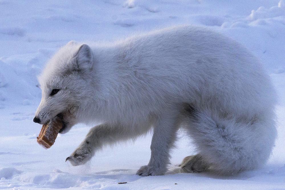当地时间2021年3月8日,俄罗斯科米共和国沃尔库塔,北极狐食用火车站乘客丢弃的食物。当地野生动物正经历着由于极端气候而导致的食物危机。