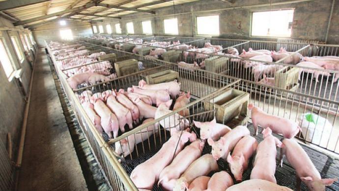舌尖下的中國|下一場流行病,可能正在動物養殖場中孕育