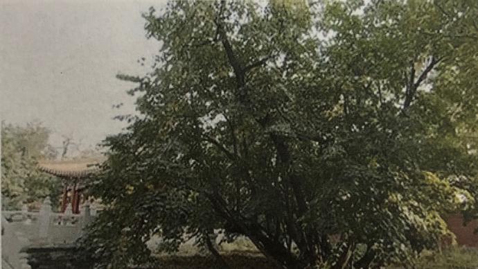 """九莲菩提树:故宫中的""""神迹"""""""