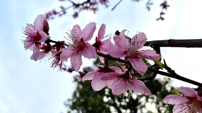 阳光终于回来了!上海本周春暖回归,百花齐放