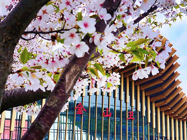 金山卫站的樱花迎风绽放。 吴佳珺 图