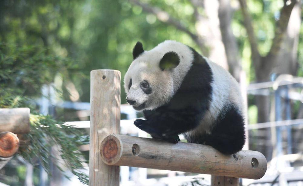 """熊猫""""香香""""。本文图片均来自 新华社"""