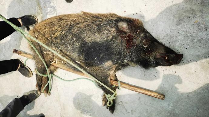野豬闖進杭州一戶農家將86歲老人咬成重傷,被民警5槍擊斃