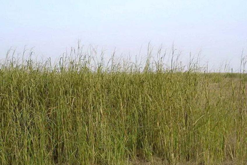 互花米草,原产自美洲,1979年被引入我国,被用于抵御台风、保滩护岸。然而,引种的互花米草在各地迅速繁殖扩张成为入侵物种,威胁当地海岸生态系统,影响湿地滩涂养殖,阻塞船道。现已被列入全球最具威胁性的100种外来生物名录。