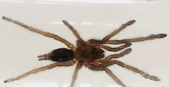 2018年6月20日湖南海关从一波兰入境邮件中截获51只活体蜘蛛。这些蜘蛛全部为欧洲种,我国尚无分布记录。