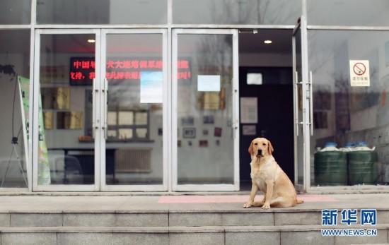 中国导盲犬大连培训基地的导盲犬图据新华社