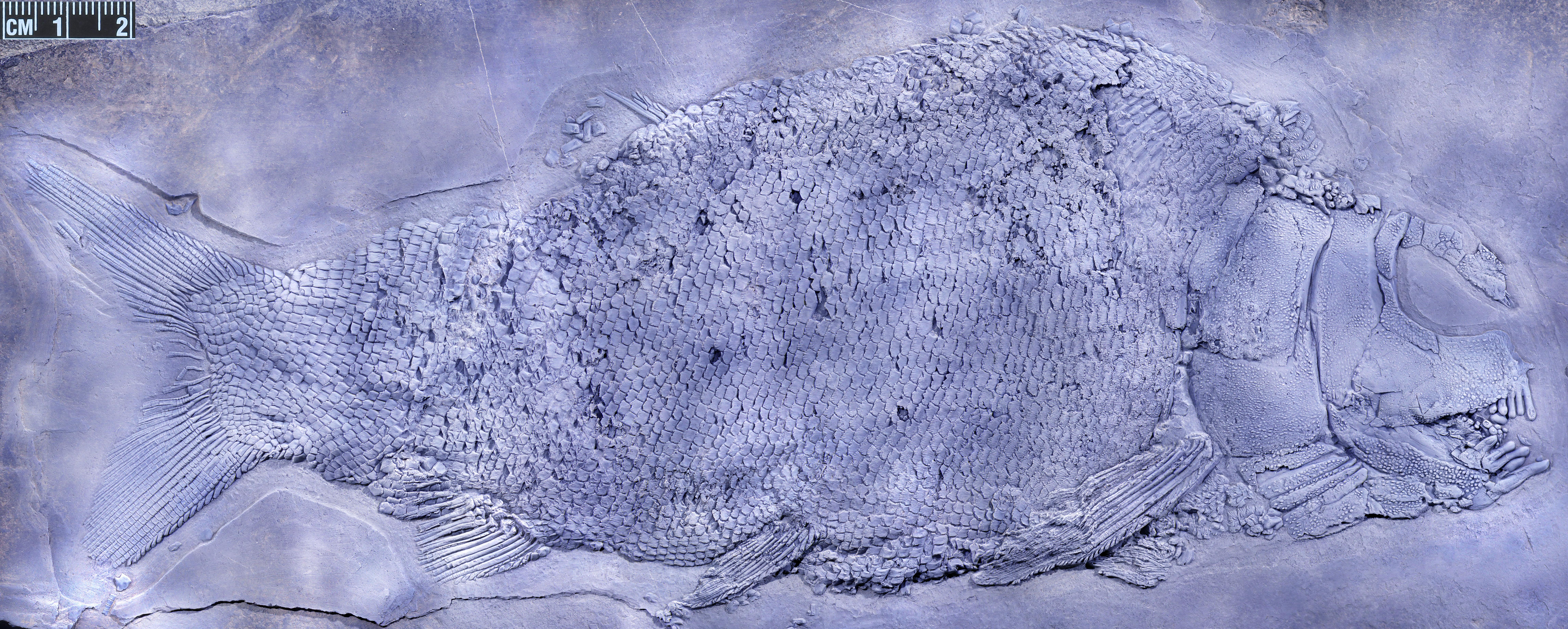盘州暴鱼正型标本