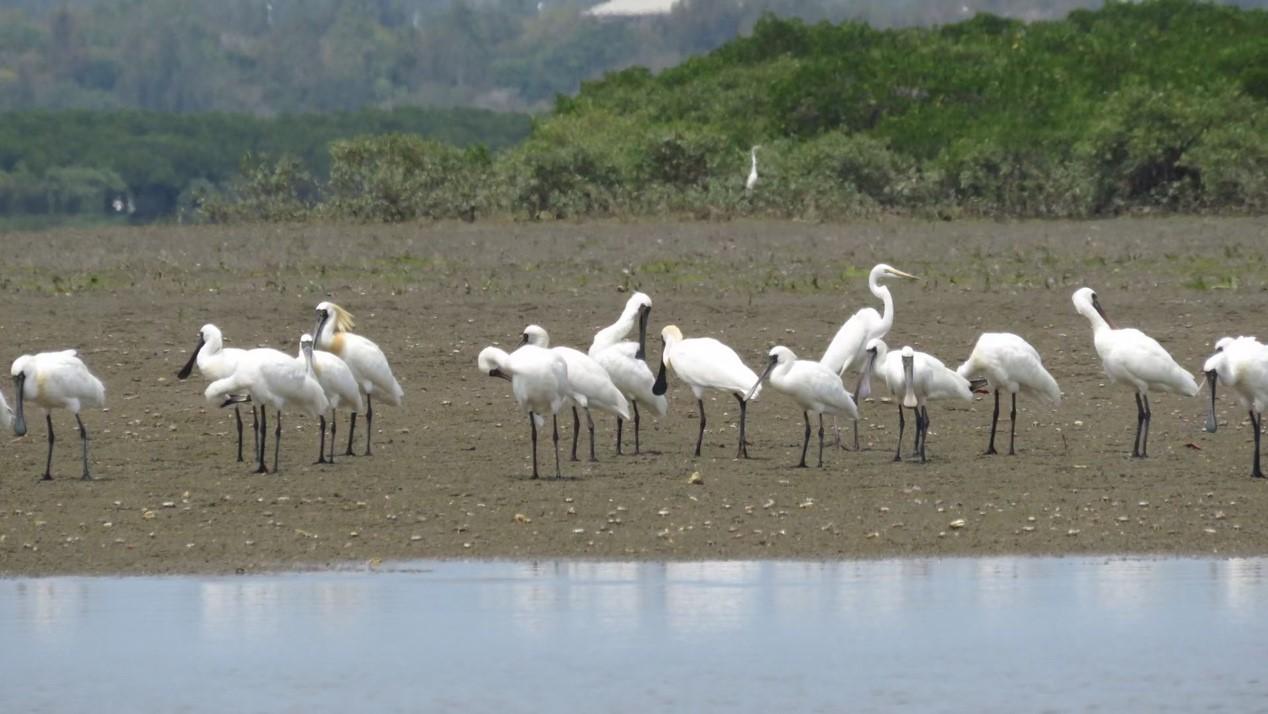 国家一级重点保护野生动物黑脸琵鹭 陈正平 摄