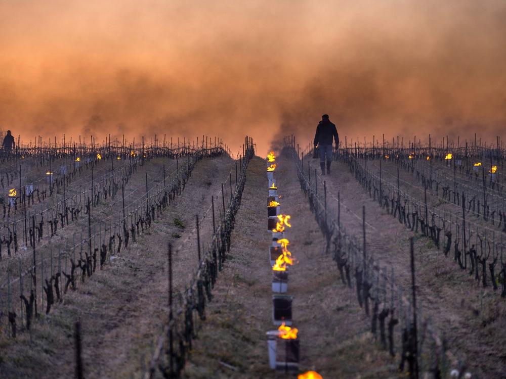 """当地时间2021年4月7日,法国南特葡萄园点""""蜡烛""""增温,防止霜冻。"""
