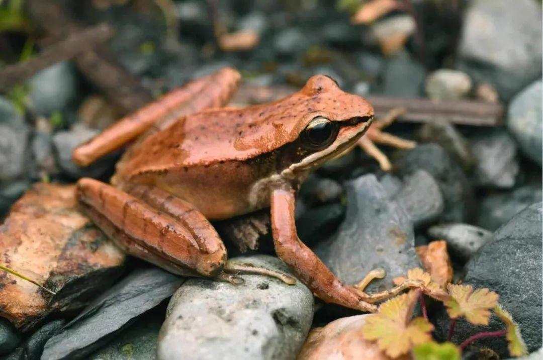 新物种 林芝濡蛙