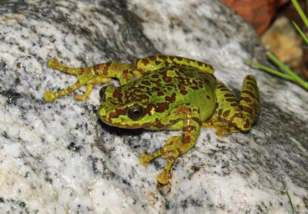 新物种 陈塘濡蛙