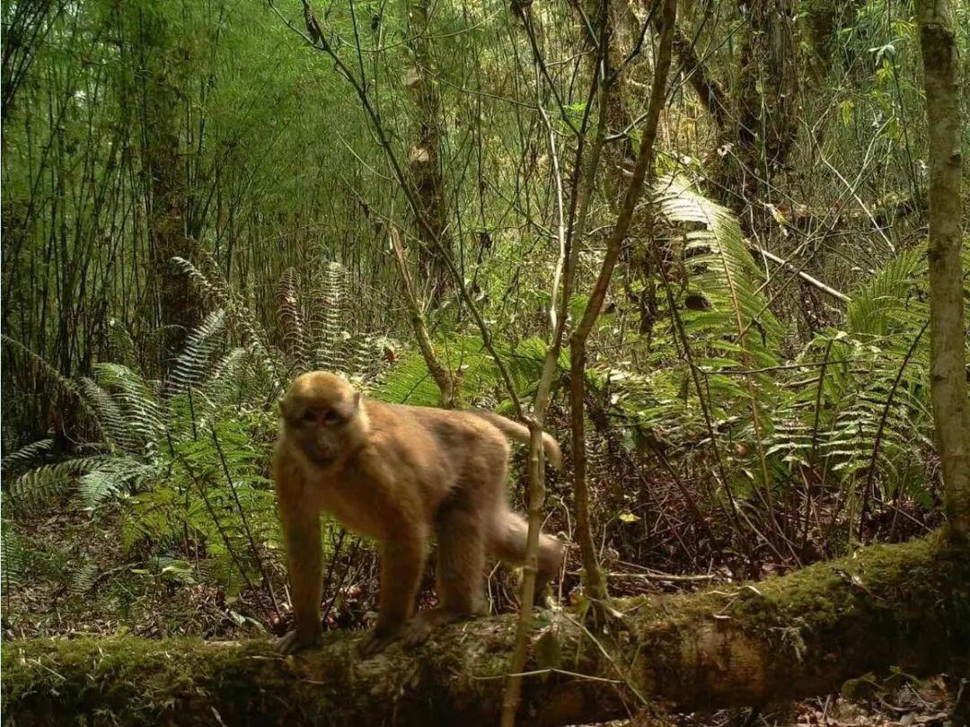 新物种 白頰猕猴