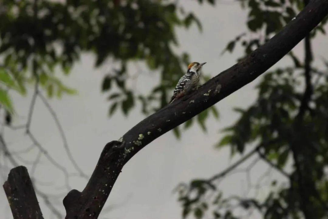 新纪录物种?棕额啄木鸟