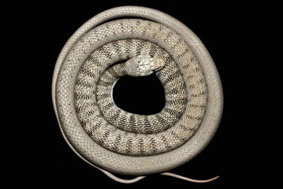 新纪录物种?红脊扁头蛇