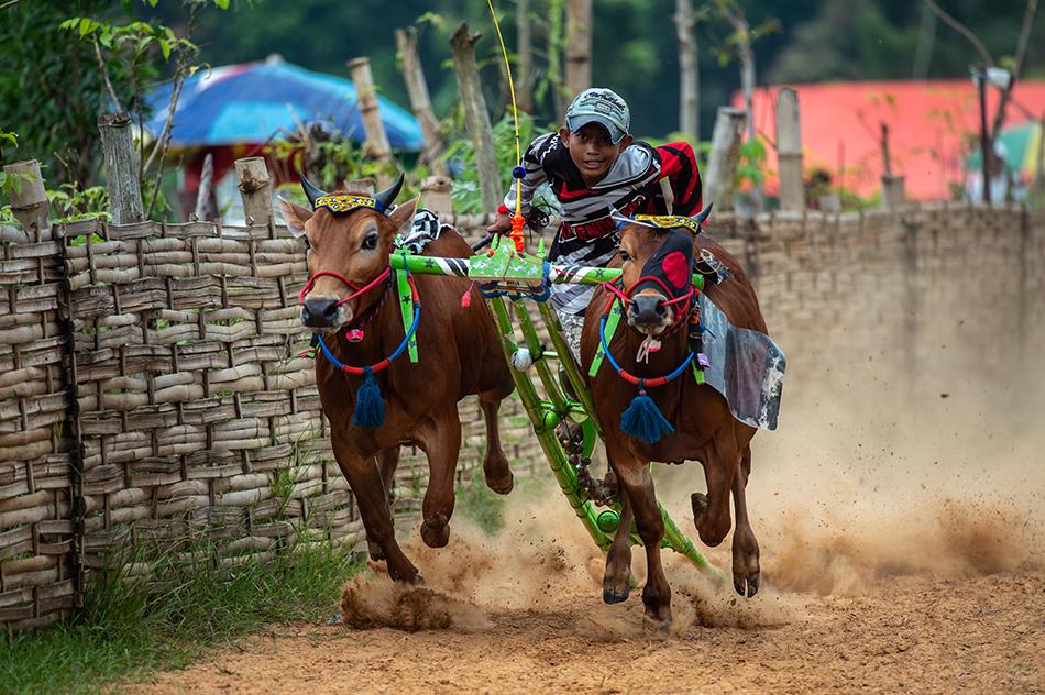 当地时间2021年4月10日,印尼马都拉举行传统 Karapan Sapi赛牛比赛。