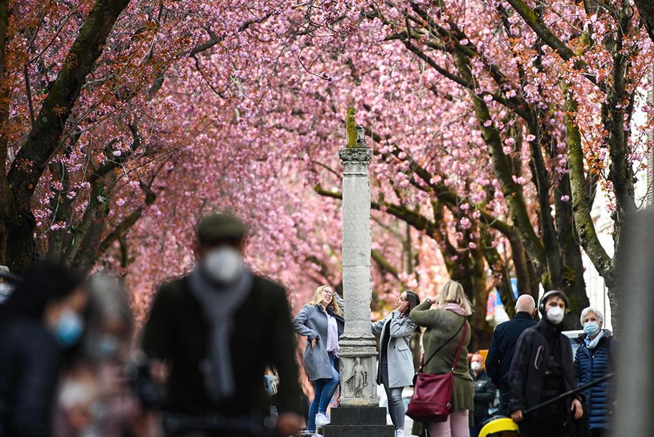 当地时间2021年4月9日,人们在德国波恩欣赏盛开的樱花。德国目前的新冠防控措施计划将持续至4月18日,联邦与各州政府预计将在下周商讨进一步措施。