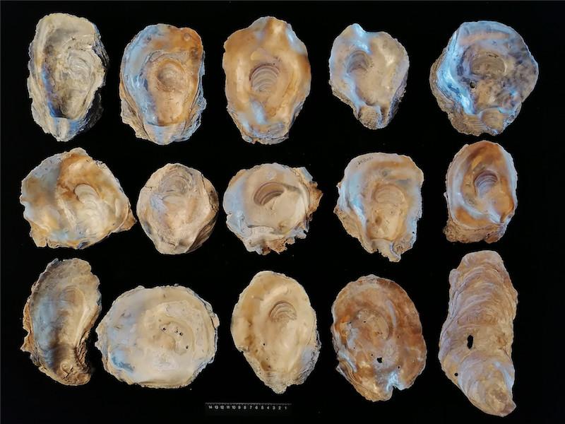 近江牡蛎壳