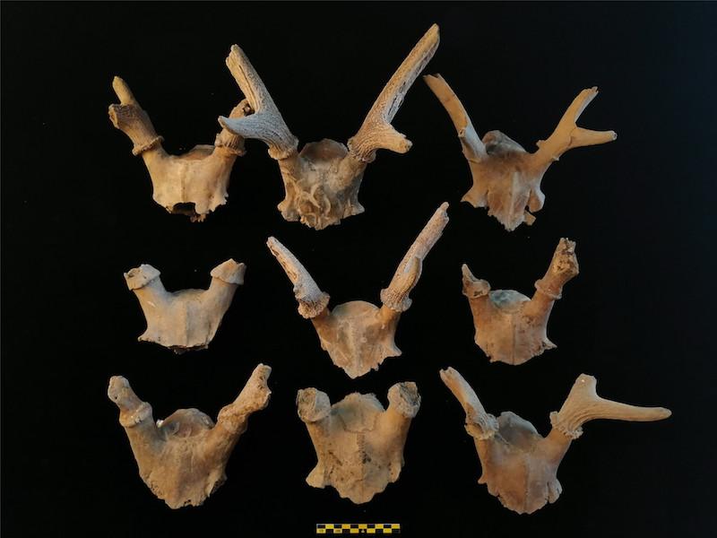 残存鹿角的鹿头骨
